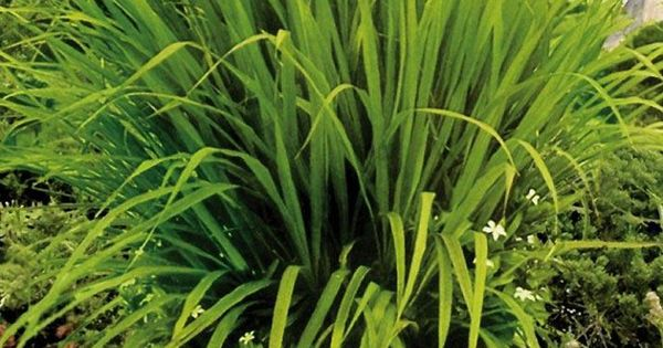 Definitely need to try this around the pool. Mosquito grass (a.k.a. Lemon