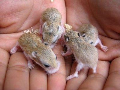 Small Pets Animal Sugar Glider Small Sized Pet Animal Sugar Glider Cute Animals Small Pets