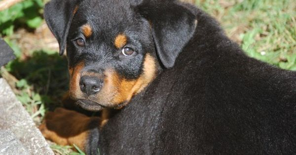Rottweiler Puppy For Sale In Snohomish Wa Adn 55986 On