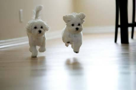 Two Maltese Puppies Come Running Cute Baby Animals Cute Animals