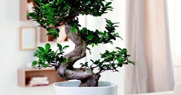 Wohnzimmer pflanzen birkenfeige zimmerb umchen - Japanische zimmerpflanzen ...