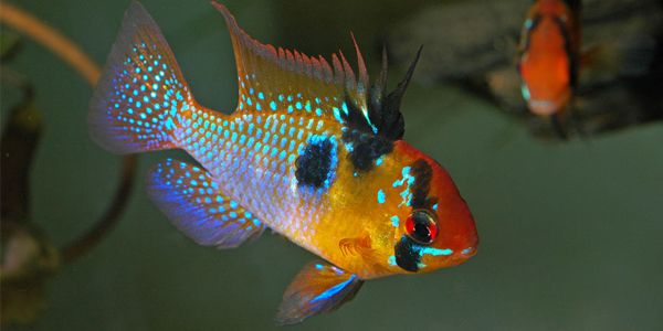 The Blue Ram Cichlid Also Known As German Blue Ram Is A Beautiful And Peaceful Cichlid Popular Among Aquaris Cichlids Aquarium Fish Tropical Freshwater Fish