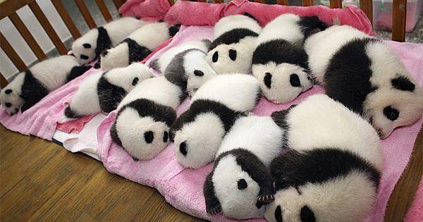 PANDA BABIES!!!!!--> Panda Nursery at the Chengdu Research Base of Gian Panda