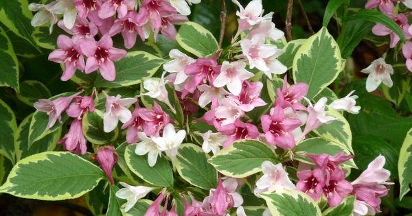 Weigelia 39 kosteriana variegata 39 floraison mai juin taille apr s floraison 1 50m panach - Entretien orchidee apres floraison ...