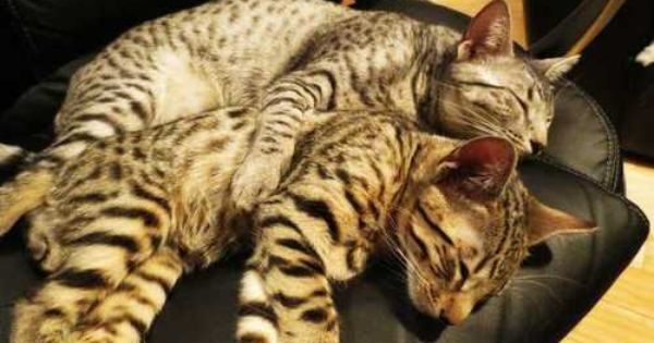Pin By Kasey On Cats And Kittens Cats Toyger Cat Cute Animals