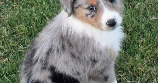 Cute blue merle Aussie puppy! Reminds me of Corin's coat/size when I