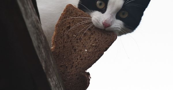 Tuxedo Cat with toast. Pure Mess.