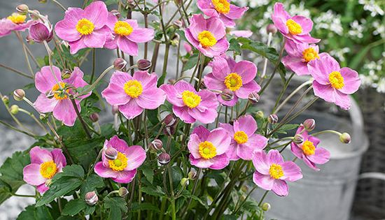 Grow these sun loving perennials that shine year after for Hardy low maintenance perennials