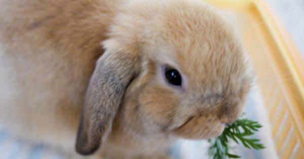 ごん ちゃっぴー ごん 日記 ページ 58 ホーランドロップ ウサギ うさぎ