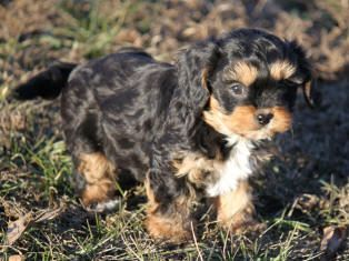Cavapoo Cavapoo Puppies Cavachon Puppies Puppies