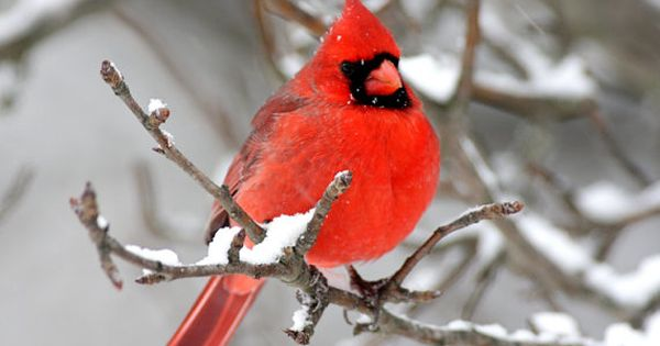Cardinal Photos Winter Scenes by StevesPhotos...such beautiful birds
