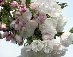 Mount Fuji Cherry Tree Weeping Flowering Cherry Flowering Cherry Tree Willow Tree Wedding Cherry Tree