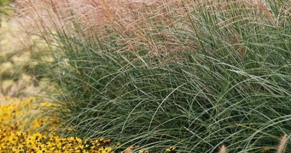 17 top ornamental grasses filler grasses and tyxgb76aj for Tall ornamental grasses for screening