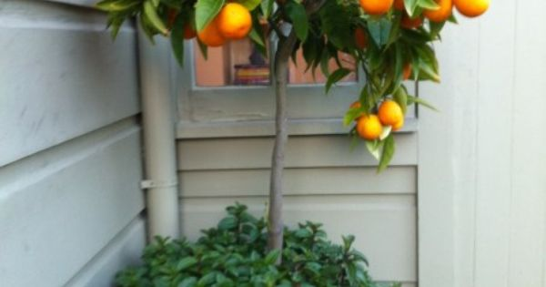 Potted orange tree with mint. I'd love to do some sort of