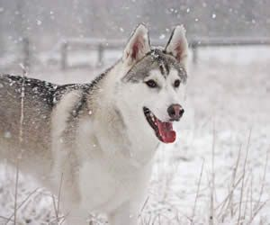 Husky Dog Names The Best Husky Names For Your Siberian Husky