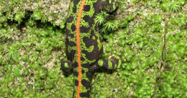 Marbled Newt Triturus Marmoratus Braga Portugal