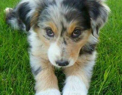 Australian Shepherd puppy. Guys… I just really want a dog!