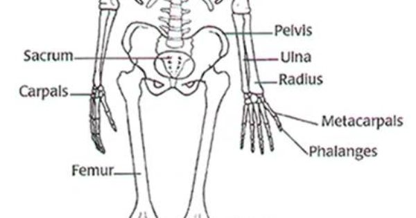 blank diagram skeleton human body