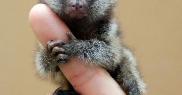 Pygmy Marmoset :) OK so this has to be one of the