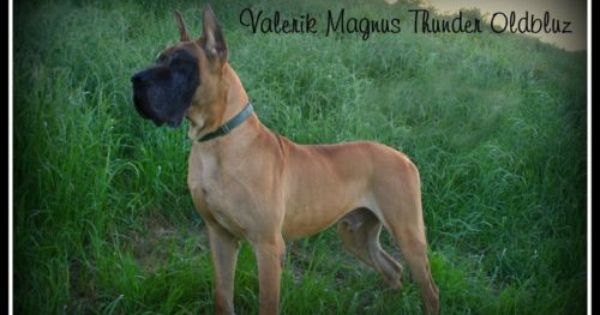 Akc Great Dane Puppies Superior Fawns Brindles Euro Pups Shipping Available Picture Is Grand Sire To The Lit Great Dane Puppy Great Dane Large Dog Breeds