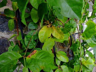 Jasmine Leaves Are Yellow Reasons For Yellow Leaves On Jasmine Plants Plant Leaves Turning Yellow Jasmine Plant Plant Leaves Turning