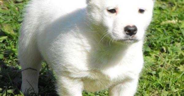Samoyed Mixed With German Shepherd Pug and Samoyed | PUG ...