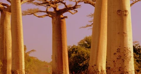 Avenue of Baobabs ~ Madagascar (Photography by Julie Smith, Peace Corps Madagascar,