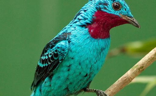 Spangled Cotinga (Cotinga cayana) by SARhounds . . . found in the