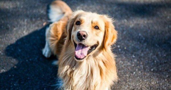 كلاب جولدن مميزات وعيوب كلاب الجولدن ريتريفر Popular Dog Breeds Dogs Golden Retriever Golden Retriever