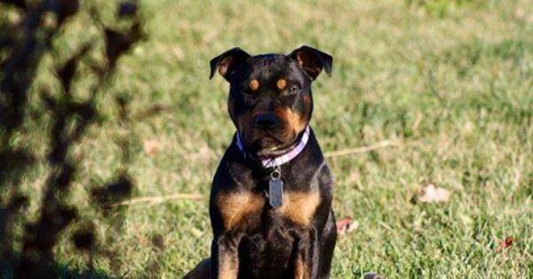 Adopt Penny On Staffordshire Bull Terrier Bull Terrier Bull Terrier Dog