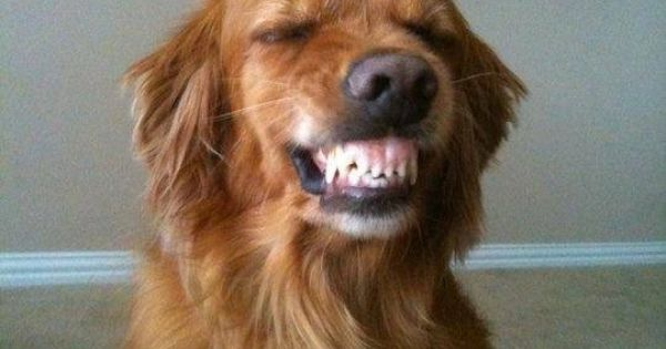 Is this golden retriever smiling or protecting someone or