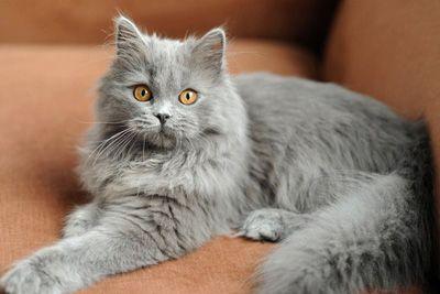 Cg 33 British Longhair Cat Origin United Kingdom British