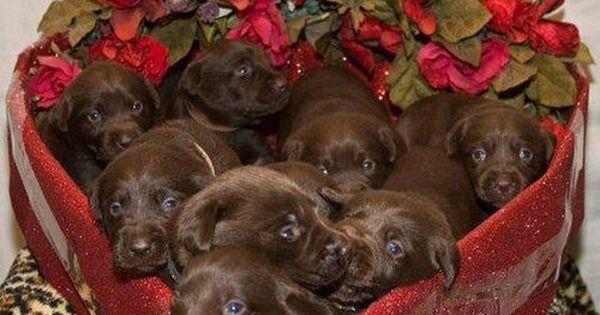 True Life I Don T Like Chocolate Chocolate Lab Puppies