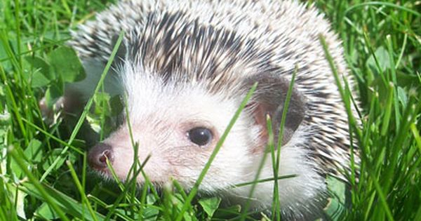 Pet Hedgehog Pictures Crunchie African Pygmy Hedgehog Pygmy Hedgehog Pets