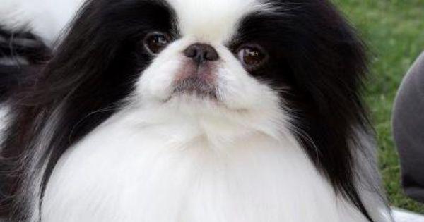 Palm Springs Peep Show By Billy Wheeler Japanese Chin Dog Japanese Chin Japanese Chin Puppies