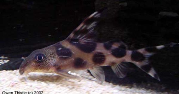 Synodontis decorus Decorated Squeaker (Catfish) | Fish ...