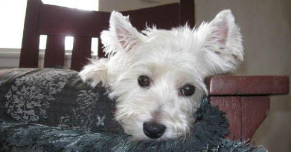 Meet Carolina Westie Rescue A Petfinder Adoptable West Highland
