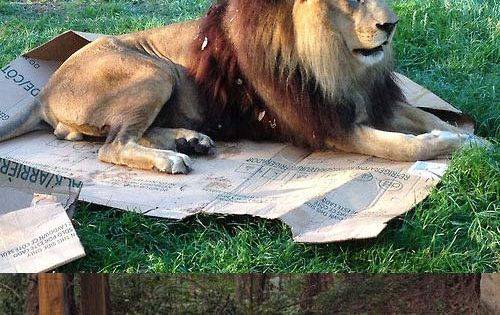 Big Cats Also Like Boxes cute animals cat cats adorable lion animal