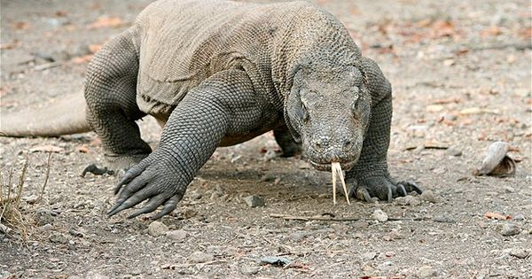 Komodo Dragon | Cold Blooded | Pinterest | Komodo dragon ...
