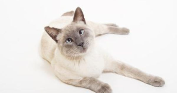 8 Types Of Siamese Cats Lovetoknow Cat Breeds Siamese Siamese Cats Blue Point Siamese Kittens