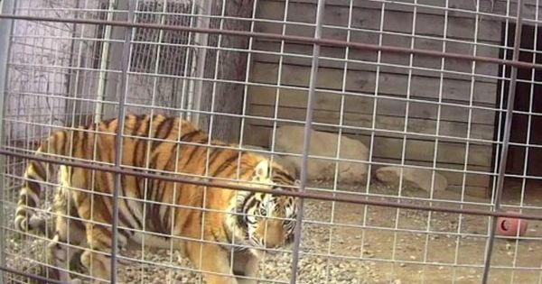 An Eyewitness Inside A Michigan Roadside Zoo That Masquerades As A