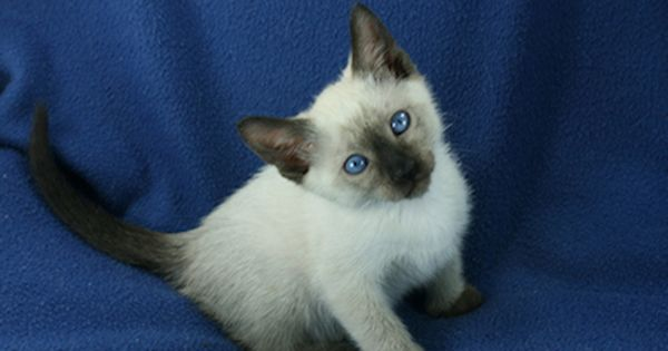 Traditional Siamese Lynx And Balinese Kittens For Sale Balinese Cat Kittens Kitten For Sale