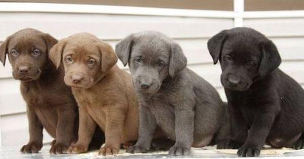 Labrador Retriever Hundebabys Susse Tiere Hunde