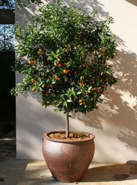 Citrus Gardening Solutions University Of Florida Institute Of Food And Agricultural Sciences Potted Trees Citrus Trees Plants
