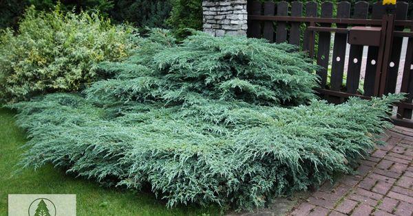 Family Cupressaceae Genus Juniperus Species Squamata