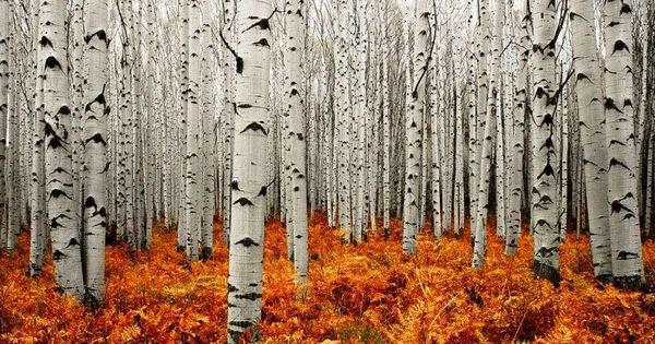 Aspen Forest by Chad Galloway I love birch trees! But even more