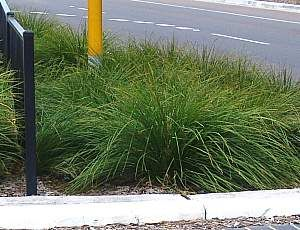 Lomandra Longifolia Breeze Grass Like 2 4 X 2 4 Sun Or Shade Low Water Requirements Hardy To 15 20 Degrees Yellow F Lomandra Front Yard Plants Plants