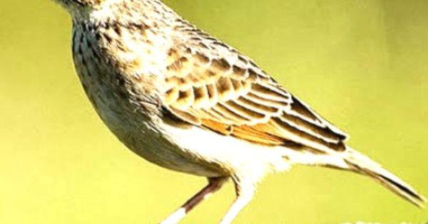 Branjangan Download Branjangan Download Burung Branjangan