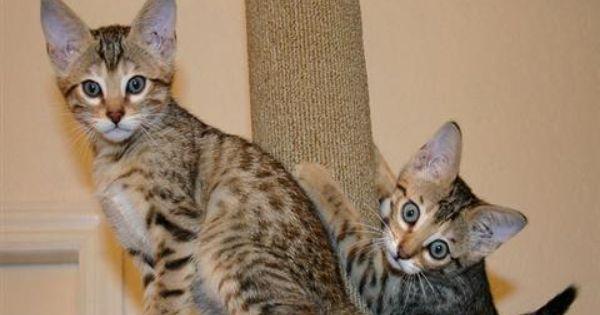 Savannah Kittens For Sale Fabulous Female And Male Savannah Kitten Available Pets For Sale Kucing Bengal Hewan Peliharaan Hewan