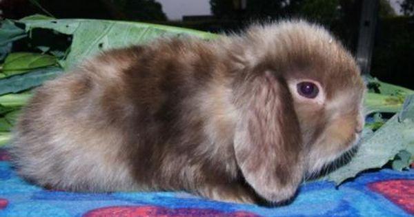 Gebe Aus Meiner Kleinen Hobbyzucht Einige Niedl Sehr Tvpvolle Kleinbleibende Minizwerge In Ein Niedl Nhd Miniwidder Auch Kaninchen Kleine Tiere Babytiere